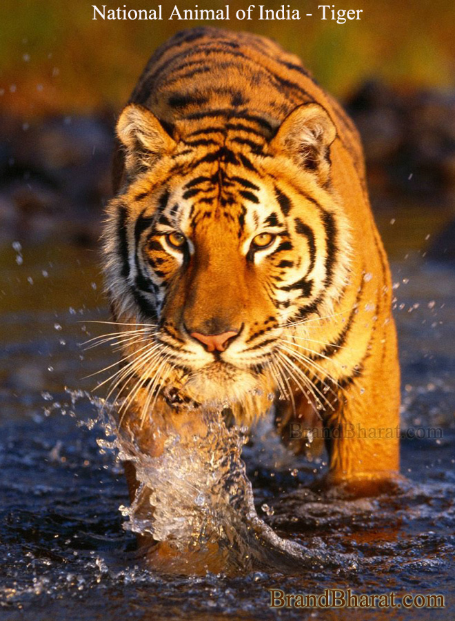 National-Animal-of-India-Tiger
